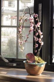 おすすめしだれ梅盆栽シダレウメ八重咲のピンク色と 香りの贈り物2019年開花3月中頃 ミニしだれ梅盆栽 ちなみに海外でも BONSAI ボンサイ