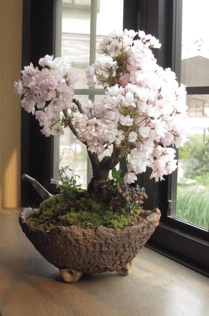 2018年4月に開花予定お祝い贈り物に桜盆栽 自宅でお花見4月頃に八重咲きピンクの桜が楽しめます