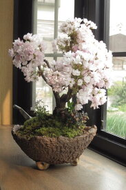 身近にさくらのお花見 桜盆栽でお祝い2021年4月に開花お祝い贈り物に桜盆栽 自宅でお花見4月頃に八重咲きピンクの桜が楽しめます
