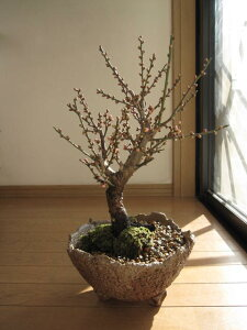 梅盆栽 【盆栽梅】信楽焼き入り紅梅盆栽