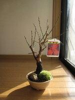 盆栽:紅梅盆栽梅盆栽開花時期は2月頃です
