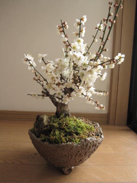 2019年2月〜3月に開花白梅盆栽梅盆栽の贈り物盆栽: 白梅盆栽梅盆栽の開花の梅花も香りもすばらしいです。  玄関を彩る梅の花  白梅