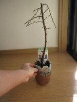 :しだれ梅盆栽二月の花八重咲の白色と香りの贈り物ミニしだれ梅盆栽