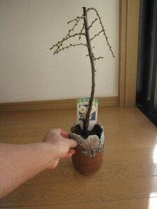 しだれ梅盆栽 二月の花 八重咲の白色と 香りの贈り物 ミニしだれ梅盆栽