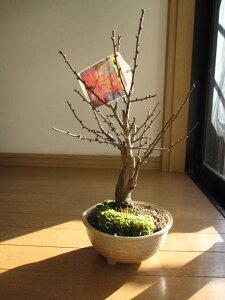 盆栽: 大盃盆栽梅盆栽 開花時期は2月頃です 紅梅で玄関に優しい梅の香りを満喫してください