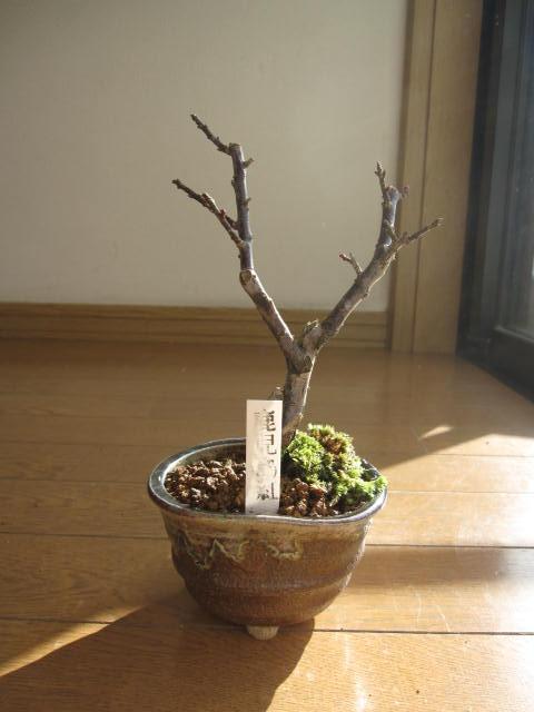 梅盆栽 【盆栽】信楽焼き入り鹿児島紅盆栽