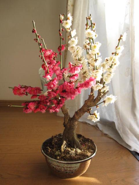 紅白梅盆栽おめでたい梅盆栽 2019年開花2月初め頃開花します。紅白ウメ盆栽 梅紅白梅梅盆栽 【盆栽】信楽焼き入り紅白梅盆栽ちなみに海外でもBONSAI と言います。