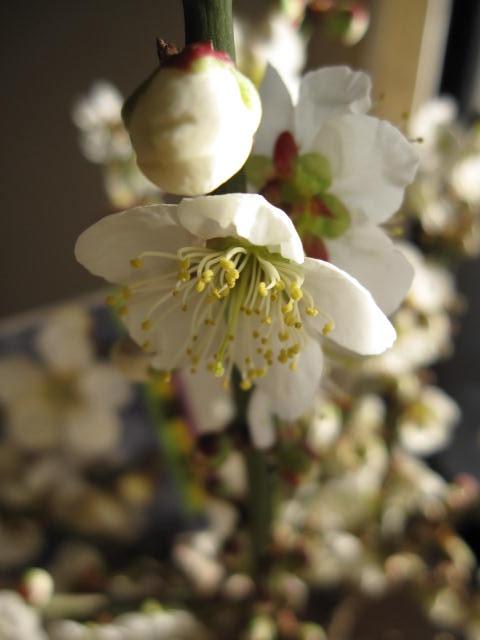 お誕生日のお祝い梅 紅白梅盆栽2019年2月中頃開花お祝いのプレゼントにも最適 紅白梅梅盆栽 【盆栽】信楽焼き入り紅白梅盆栽ちなみに海外でも BONSAI ボンサイと言います。紅白梅盆栽 ご卒業のお祝い