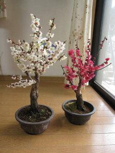 梅盆栽用2021年3月頃開花予定紅と白梅梅ポット苗 【お買い得盆栽向けの梅】紅梅と白梅    二鉢でお買い得