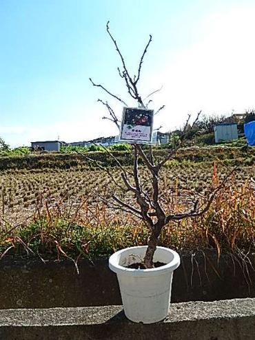 2019年運気雲竜梅 しだれ梅 栽培が容易で寿命が長く味わいがあります!  数量限定です! 梅苗 雲竜梅:ウンリュウバイ