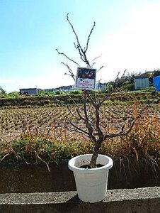 2021年運気雲竜梅 しだれ梅 栽培が容易で寿命が長く味わいがあります!  数量限定です! 梅苗 雲竜梅:ウンリュウバイ