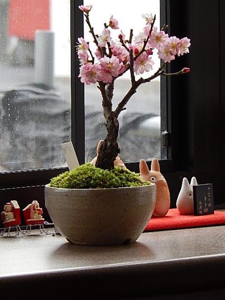 2018年2月頃開花ミニ盆栽梅盆栽 八重ピンク咲き