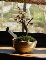 ミニ盆栽梅盆栽白梅八重咲き