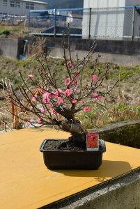 現品の八重紅梅梅本格梅盆栽花梅 寒梅 2021年1月28日 撮影 A-125