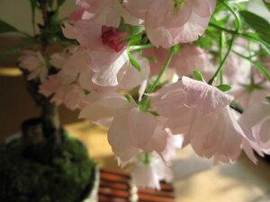 【桜盆栽】【盆栽】桜お花見信楽桜盆栽2013年の春はサクラ盆栽でリピンクでお花見開花は四月初旬頃ちなみに海外でもBONSAIボンサイと言います。こんな感じで咲きます咲きます桜が
