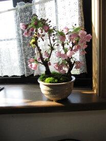 2021年4月開花桜盆栽八重桜盆栽盆栽信楽鉢入り自宅で春にお花見ができます