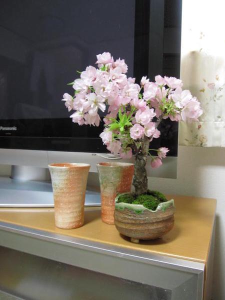 2019年4月中頃に開花の桜盆栽で簡単にお花見ミニ盆栽桜桜でお祝い誕生日のプレゼントに盆栽一才桜 旭山桜盆栽誕生日 プレゼント 鉢植え