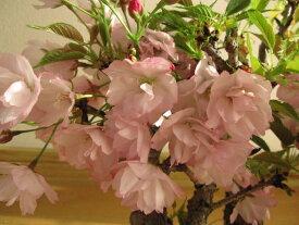 自宅でさくらのお花見を楽しむ2021年4月に開花【桜盆栽】サクラ盆栽こんな感じに八重のサクラのお花が咲きます 桜並木鉢花桜並木桜盆栽お祝い桜盆栽信楽鉢入り宴さくら盆栽