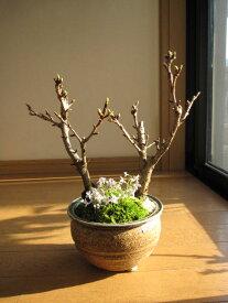 【桜盆栽】自宅でお花見さくら盆栽お祝い桜盆栽入学卒業祝いサクラ信楽鉢入り2019年花芽付の桜盆栽となります。