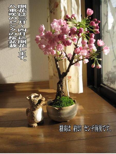 2019年4月頃開花桜盆栽盆栽桜桜盆栽 四月にこんな感じでサクラのお花が見れます。 桜盆栽  入学 卒業のお祝い桜 花芽付の桜盆栽となります。