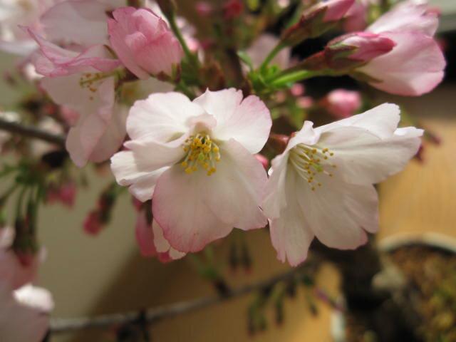 2019年4月頃開花桜盆栽【鉢花】御殿場桜盆栽花が咲く春 こんな感じで 開花します。盆栽桜盆栽殿場桜信楽鉢入り 自宅で身近に楽しむ桜盆栽さくら盆栽で お花見ができます桜満開ギフト春に咲く桜盆栽です。自宅でも桜が見れます。