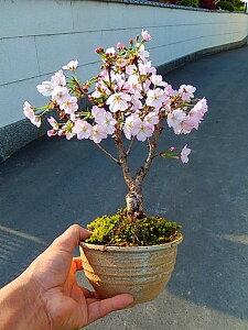 盆栽:桜盆栽殿場桜信楽鉢入り御殿場桜盆栽海外でもBONSAIボンサイと言います。