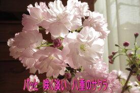 2021年4月に開花さくら盆栽ベランダでもリビングでお花見できる 桜盆栽:桜盆栽 八重咲きの ピンクの花の桜 海外でも BONSAI ボンサイと言います。