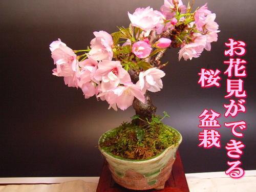 桜盆栽毎日の水だけで2018年 四月に開花 開花しなかったら返金保証盆栽旭山 桜【ミニ盆栽】 かわい桜盆栽でお花見しよう