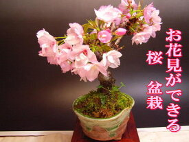 桜盆栽毎日の水だけで2019年 四月に開花 開花しなかったら返金保証盆栽旭山 桜【ミニ盆栽】 かわい桜盆栽でお花見しよう