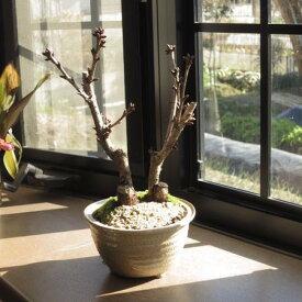 2021年4月頃開花【桜盆栽】4月には桜のお花が咲きます。盆栽桜ツイン桜寄せ植え 【桜満開】 桜盆栽の二本仕立 ぼんさい 2020年花芽付の桜盆栽となります。