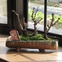 お祝いの贈り物にサクラ盆栽盆栽桜桜並木桜盆栽信楽鉢入り 2017年4月開花花芽付の桜盆栽となります。 送料無料海外でも BONSAUIボンサイといいます。