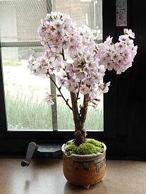 御殿場桜盆栽いろんなお祝いにパッと咲く咲く桜盆栽2019年4月に開花の桜盆栽となります。御殿場桜桜満開ギフト お祝い桜盆栽