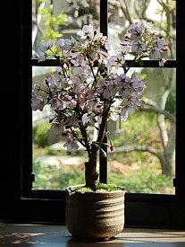 自宅で桜のお花見を楽しむ2021年4月頃開花御殿場桜盆栽御殿場桜桜満開ギフトお祝い桜盆栽春に開花します。花芽付の桜盆栽となります。
