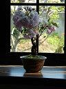 母の日ギフトに2021年5月に花見を楽しめる桜盆栽です八重桜盆栽プレゼントにもおすすめですプレゼントにもおすすめミ…