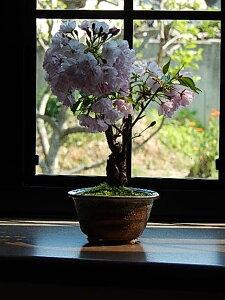 母の日限定桜盆栽2017年5月に自宅でお花見プレゼントにもおすすめです母の日プレゼントに