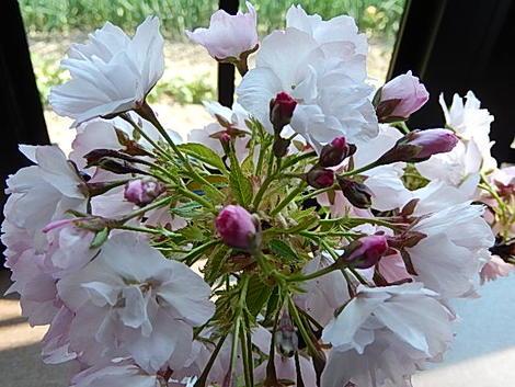 父の日ギフト盆桜栽咲くさくら パッと咲く サクラ盆栽で来年のお花見を楽しもう