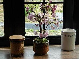 4月に開花桜盆栽【盆栽】当店おすすめの お祝いごとの贈り物に【さくら盆栽】でお花見ができます。