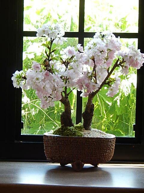 新春お祝い2018年4月に開花プレゼントや贈り物にさくら盆栽桜盆栽ツイン桜盆栽信楽鉢入り 八重桜盆栽