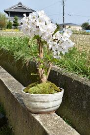 父の日桜盆栽2020年5月頃開花ソメイヨシノ盆栽サクラといえば染井吉野サクラのミニ盆栽です