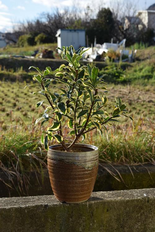 沈丁花前島2019年開花3月頃開花ジンチョウゲ鉢植え花の香りがいいかおりがします。 自然の香水 沈丁花覆輪沈丁花前島