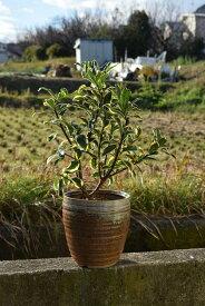 沈丁花前島2020年開花3月〜4月頃開花ジンチョウゲ鉢植え花の香りがいいかおりがします自然の香水沈丁花覆輪沈丁花前島