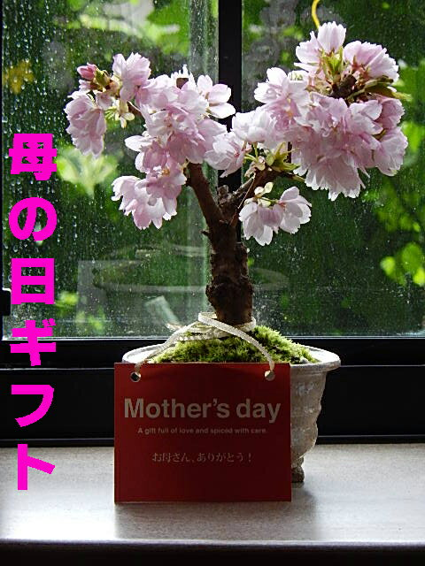 母の日ギフト2019年5月開花のさくら盆栽でお花見八重桜盆栽プレゼントにもおすすめです母の日プレゼントにもおすすめミニ盆栽です自宅で楽しむ盆栽