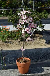母の日プレゼントに2021年5月頃開花【鉢花】ハナミズキ鉢植え鉢植え ハナミズキピンクハナミズキ 春に開花