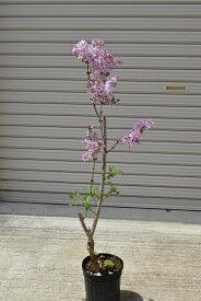 ピンク系のライラック苗 2020年花芽有庭木 落葉樹 シンボルツリー 花色ピンク系淡紫桃色の八重咲き芳香の強いライラック苗木 ミシェルブッチャーライラック