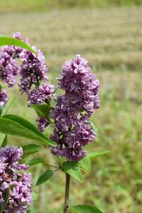 ライラック苗花色紫系 2021年花芽有庭木 落葉樹 シンボルツリー 花色紫系
