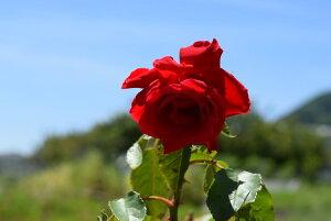 6月開花プレゼント用のギフト2021年鉢植のバラ【バラ鉢植え】真紅の赤バラ【バラ】ラッピング込み