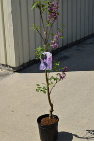 ライラック苗 2020年花芽有庭木 落葉樹 シンボルツリー 花色淡紫桃色の八重咲き芳香の強いライラック苗木 センセーションライラック