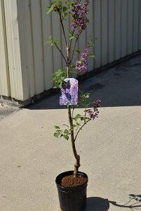 ライラック苗 2021年花芽有庭木 落葉樹 シンボルツリー 花色淡紫桃色の八重咲き芳香の強いライラック苗木 センセーションライラック