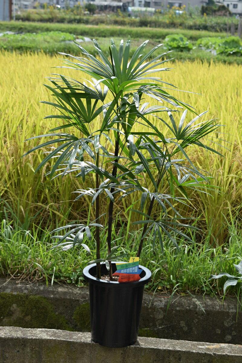 棕櫚竹(シュロチク)高さ1.2M
