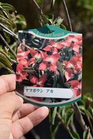 ヤマボウシ紅苗ベニバナヤマボウシ紅富士苗シンボルツリー ヤマボウシヤマボウシ紅富士苗2021年4月頃から5月に開花花芽有り